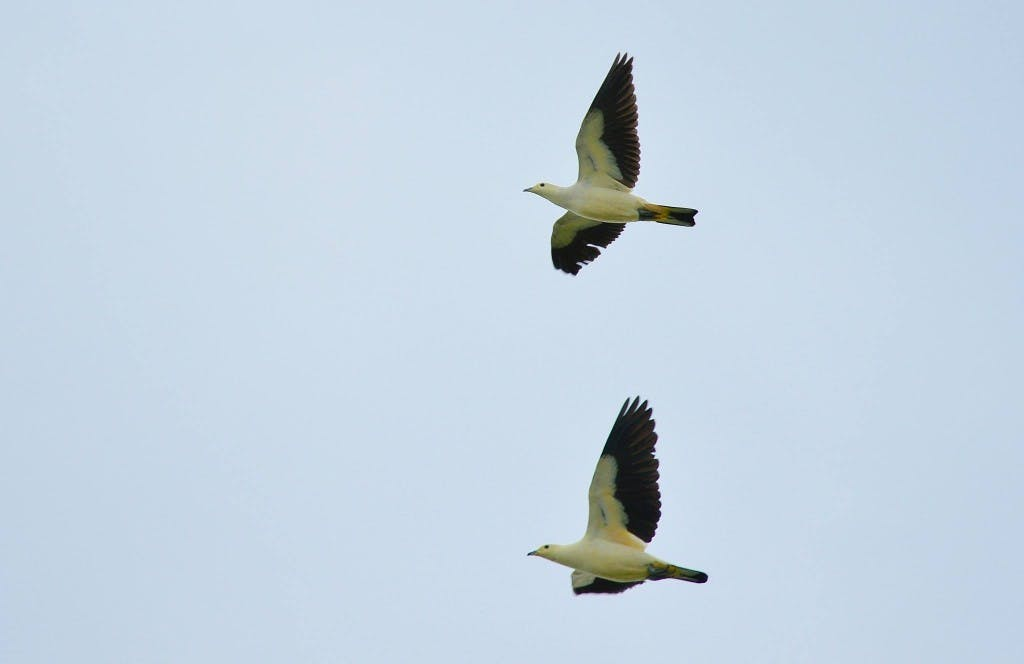 A pair of Pied Imperial Pigeon making their morning journey to mainland Palawan from their safe abode, Ursula island