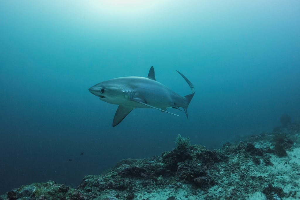 A thresher shark up close in Monad Shoal