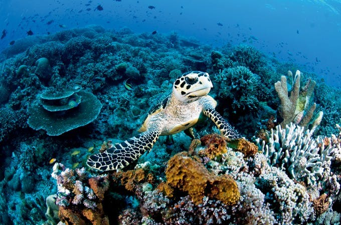 Hawksbill Turtle. Photo by Gutsy Tuason