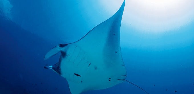 Manta Ray. Photo by Gutsy Tuason