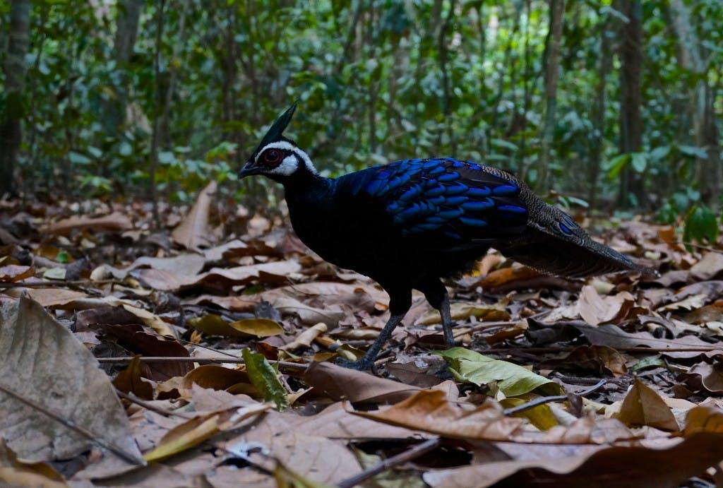 The Palawan peacock pheasant is a must see bird in Palawan