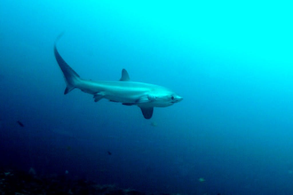 It was a busy day on the shoal. We spotted the same thresher twice, swimming back and forth with the wrasses
