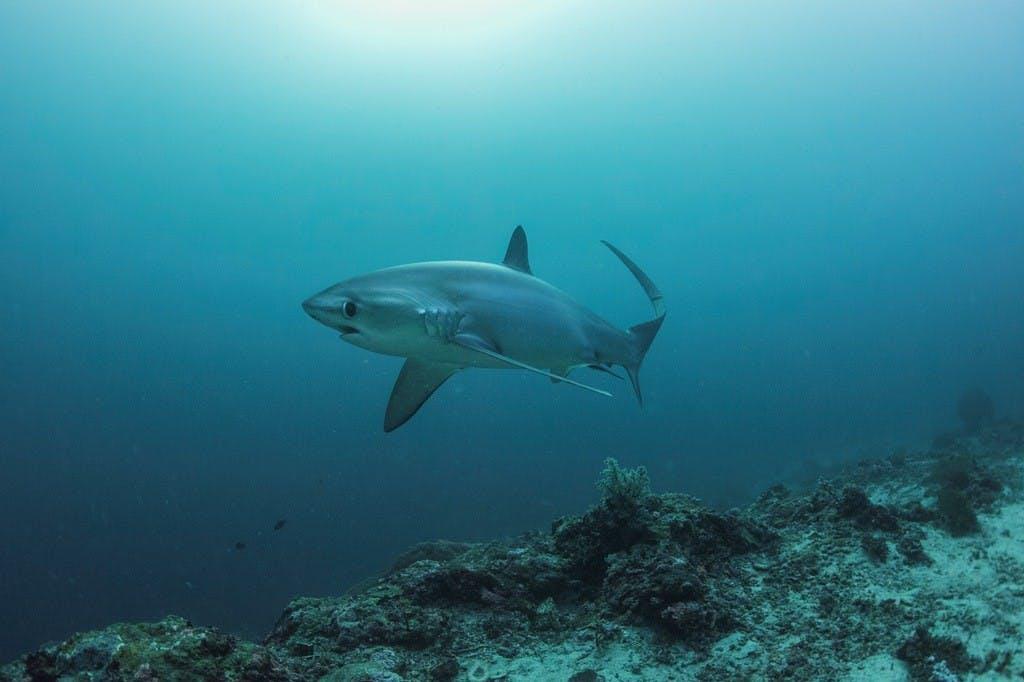 Thresher shark in Malapascua, Cebu. By Gutsy Tuason