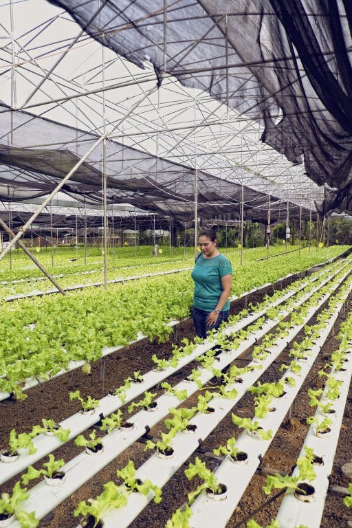 Yoki's Farm features hydroponic farming where greens like lettuce grow in nutrient-filled water instead of soil. By Daniel Soriano