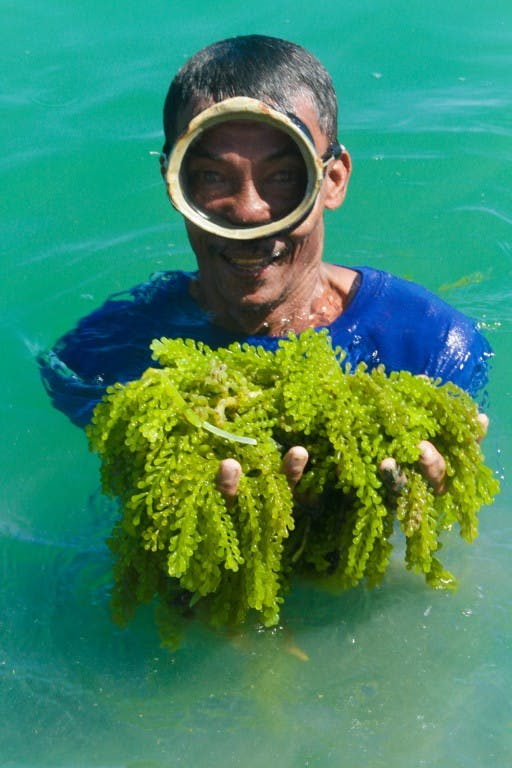 Lato or seagrapes freshly harvested from Panlatoan
