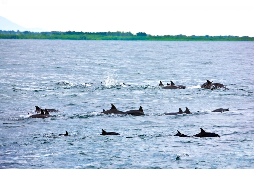 Dolphins in Puerto Bay